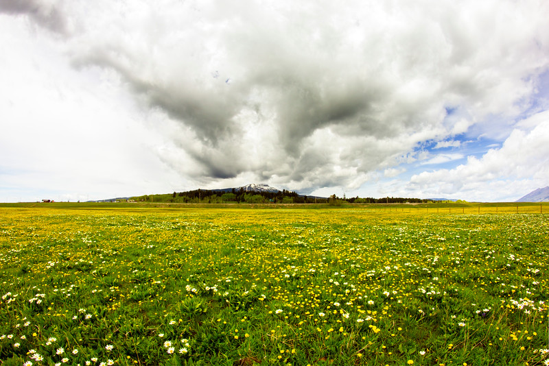 Flat Ranch Dandelions and Mules Ears in  Island Park, ID