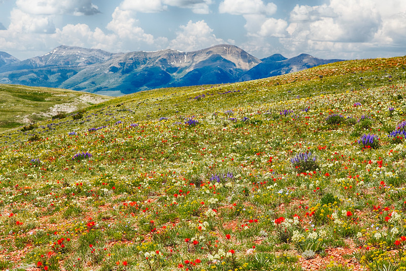 Wildflowers along the Gravelly Range Road, Montana