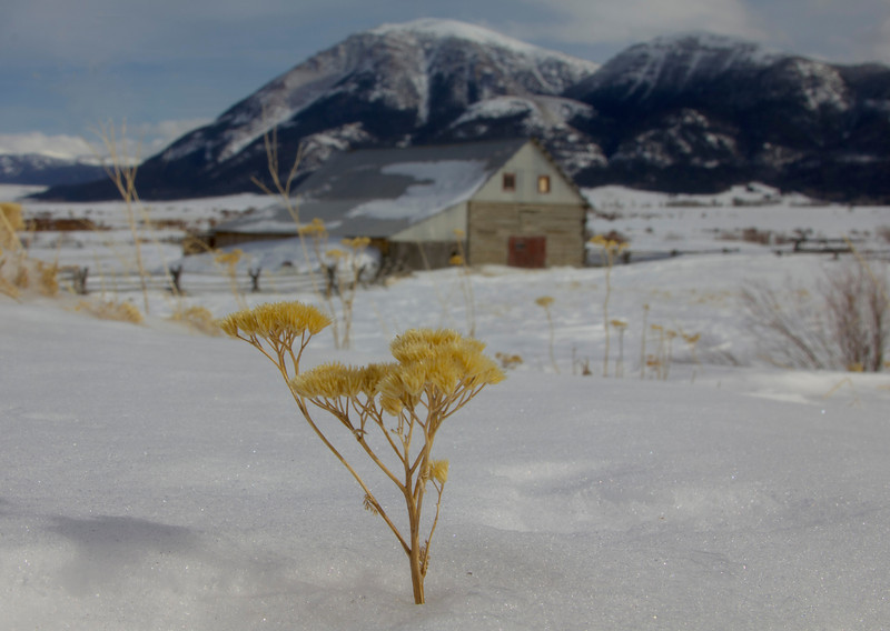 Dried grass (rabbit brush?) in snow at Red Rock Lakes National Wildlife Refuge in February. Big Sheep Mountain in backgroud.