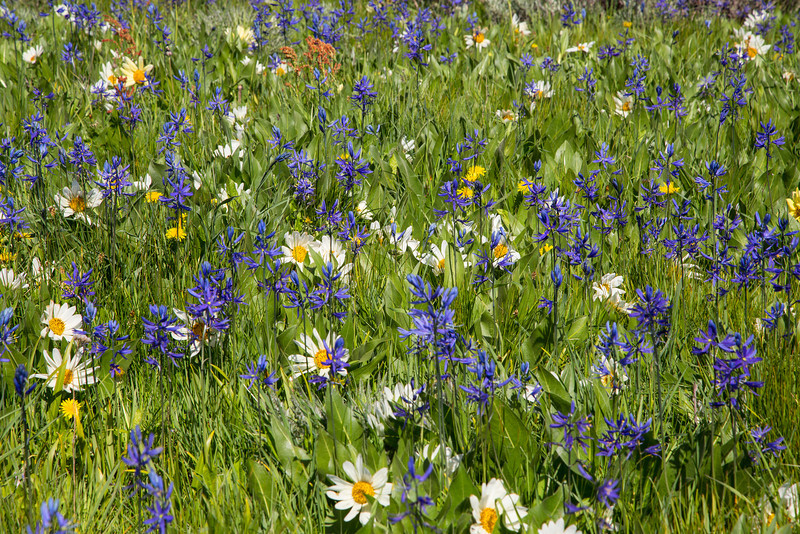 Camas and White Mules Ears wildflowers