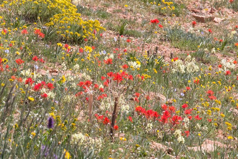 Gravelly Range Road, Indian Paintbrush