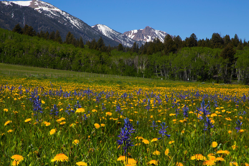 Camas and Dandelion wildflowers with Mount Nemeis of the Centennial Mountains in the background. Island Park, Idaho. June 2013