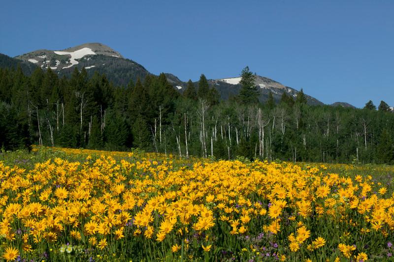 Little sunflower wildflowers fill the field across from RedRock RV Park in Island Park, Idaho. July, 2011.