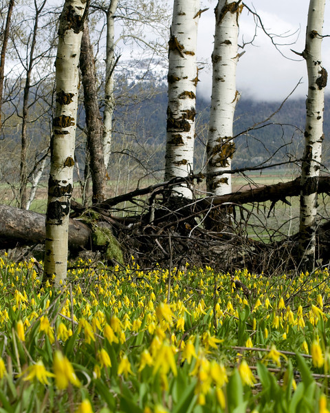 A Thick field of Glacier Lilies (also know as Fawn Lilies) among the aspens in Sawtelle Meadows, Island Park, ID May 27, 2008.
