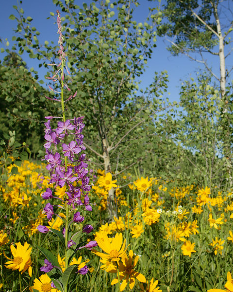 Fireweed in Idaho field.