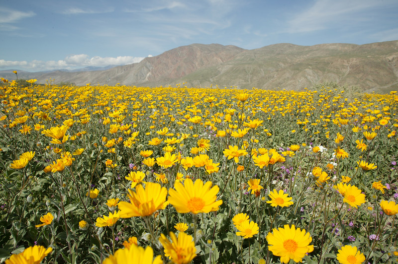Borrego Springs and Sunflowers, CA