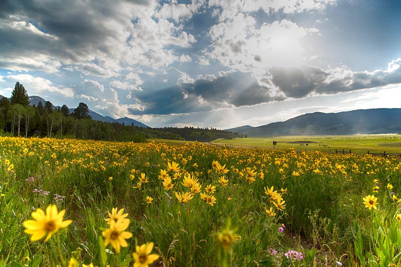 Little Sunflowers in Targhee Forest meadow, Idaho
