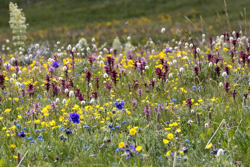 Gravelly Range Wildflowers, Montana