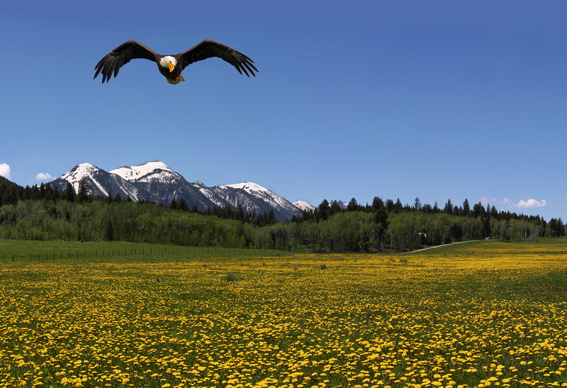 Eagle over Dandelions