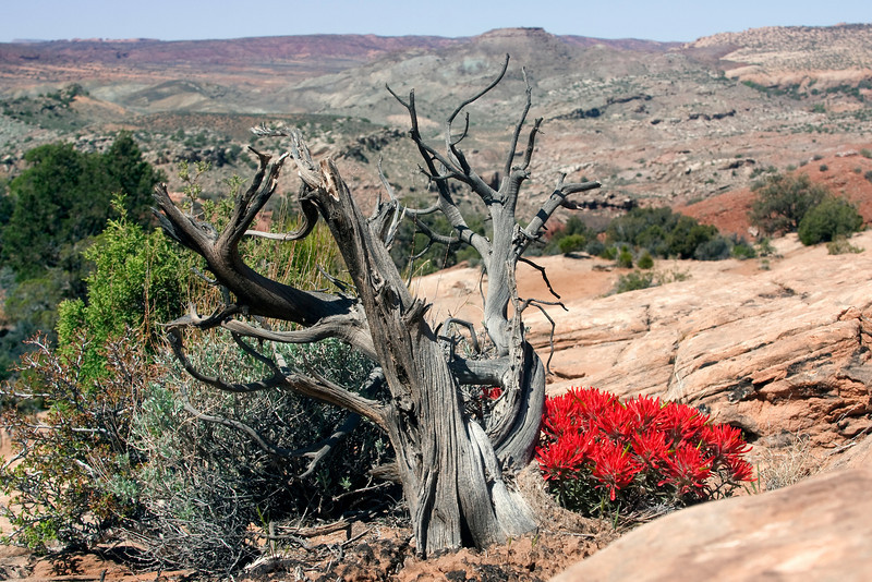 Common Paintbrush on slickrock with weather dead tree at Arches National Park. April 26, 2010.