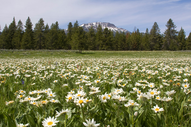 Sawtelle Peak and Mule's Ear's wildflowers in meadow along Red Rock Road in Island Park, Idaho. June 25, 2009