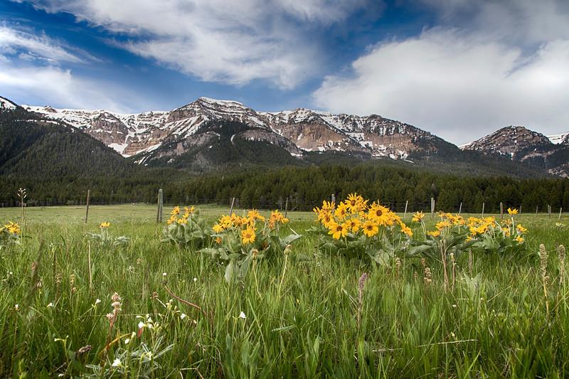 Arrowleaf Balsamroot wildflowers and Mt Taylor