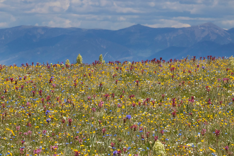 Assorted Wildflowers in Gravelly Range, MT