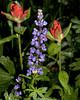 Lupines and Indian Paintbrush. Island Park, Idaho July 15, 2009