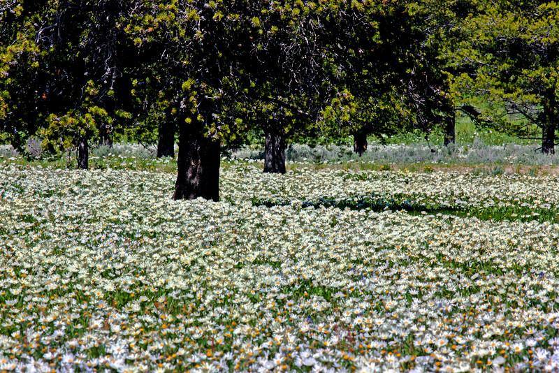 White Mule's Ear flowers around trees along Red Rock Road, Island Park, Idaho. June 26, 2010.