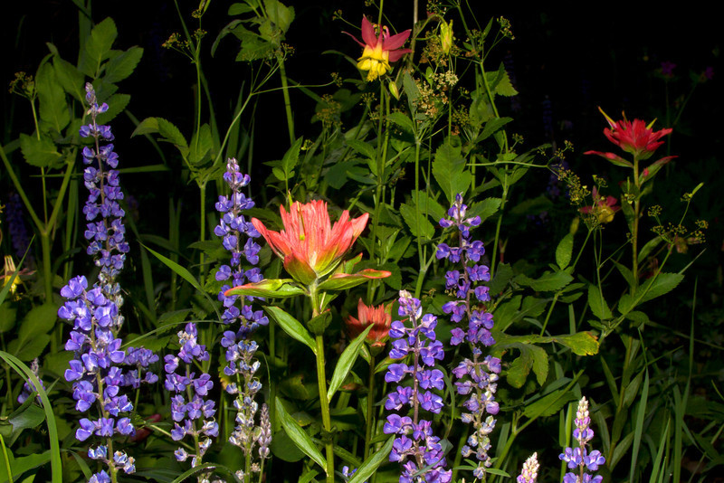 Lupines, Paintbrush and a stray Red Columbine unite to create a bouquet of wildflowers. July 16, 2011, Island Park, Idaho.