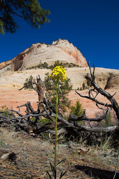 Western Wallflower (Erysimum Asperum) in Zion National Park. Utah April 28, 2013