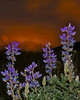 Sunset and Lupines in Island Park, Idaho. July 15, 2009