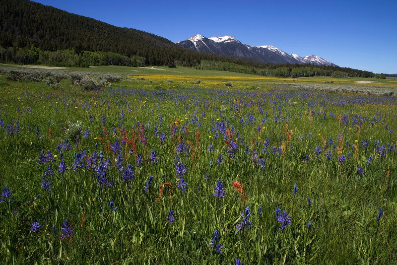 Camas wildflowers and Sorrel with Dandelions in the distance and Centennial Mountains of Idaho. June 2013