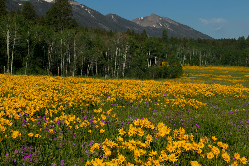 Little Sunflowers in bloom across from RedRock RV Park in Island Park, Idaho (near West Yellowstone). July 22, 2011. Mt. Nemesis in the background.