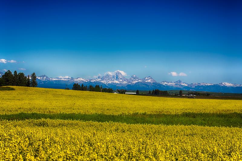 Teton Range and Canola