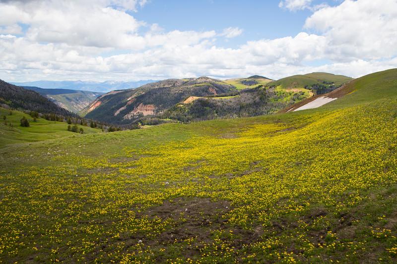 Alpine Buttercups wildflowers