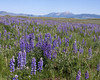 Field of Lupines in Red Rock Lakes National Wildlife Refuge (north side), looking at East Centennial Mountain range in the background. July 10, 2009 (Montana)
