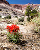 Indian Paintbrush in wash along the Paria River in the Escalante National Monument. April 14, 2013