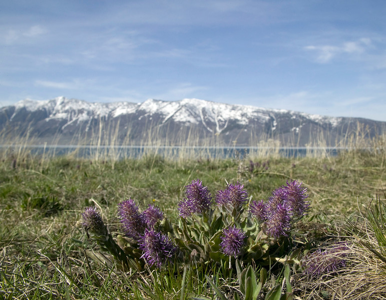 Wyoming kittentails on south shore of Henry's Lake, Idaho with Henry's Lake mountains in the background.<br /> May 16, 2009