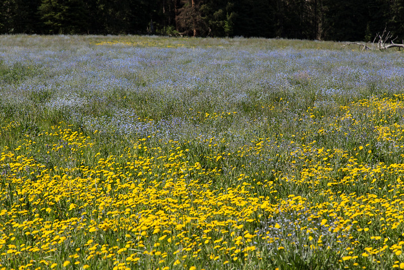 Dandelions and False Forget-me-Not