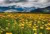 Dandelions at Flat Ranch, Idaho