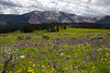 Gravelly Range Wildflowers, MT