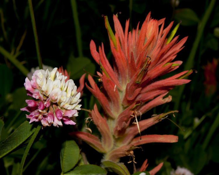 Indian Paintbrush and red clover on Continental Divide between Montana and Idaho. July 30, 2011.