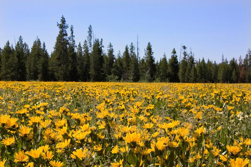 A field of Arrowleaf Balsamroot wildflowers along US20 near Island Park, Idaho. July 10, 2008