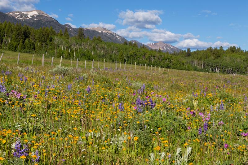 Field of wildflowers along Red Rock Road in Island Park, ID