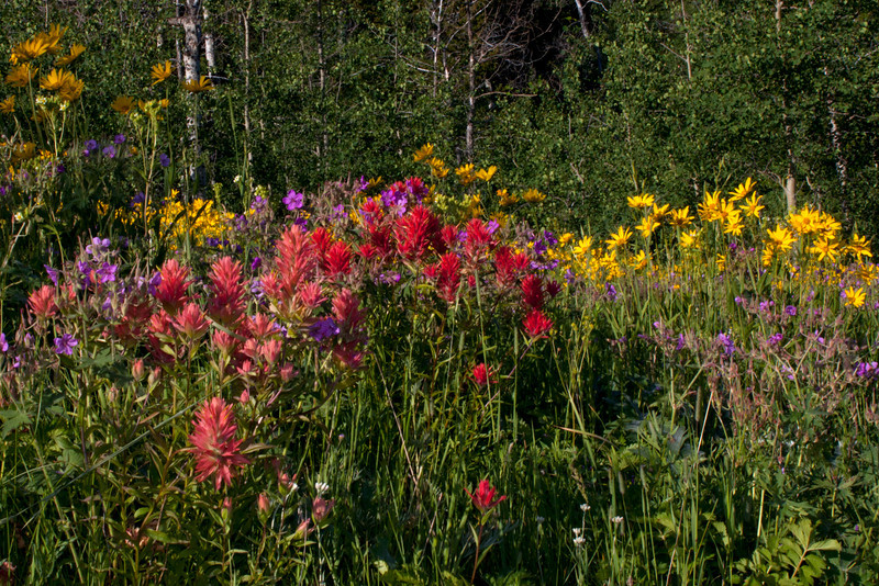 This beautiful collage of wildflowers (Sticky Geranium, Little Sunflower and Indian Paintbrush) along Red Rock Road near RedRock RV Park in Island Park, Idaho. July 2011