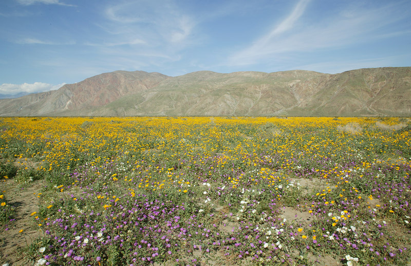 Wildflowers in DeAnza Borrego Springs State Park.