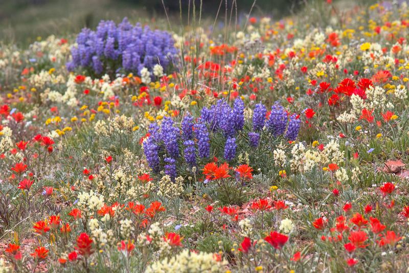 Gravelly Range Wildflowers