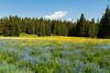 Dandelions, Alpine Bluebells, and False Forget-me-Nots