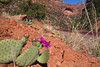 Plains Prickly Pear Cactus with Arch in Zion National Park. April 28, 2013 Utah.