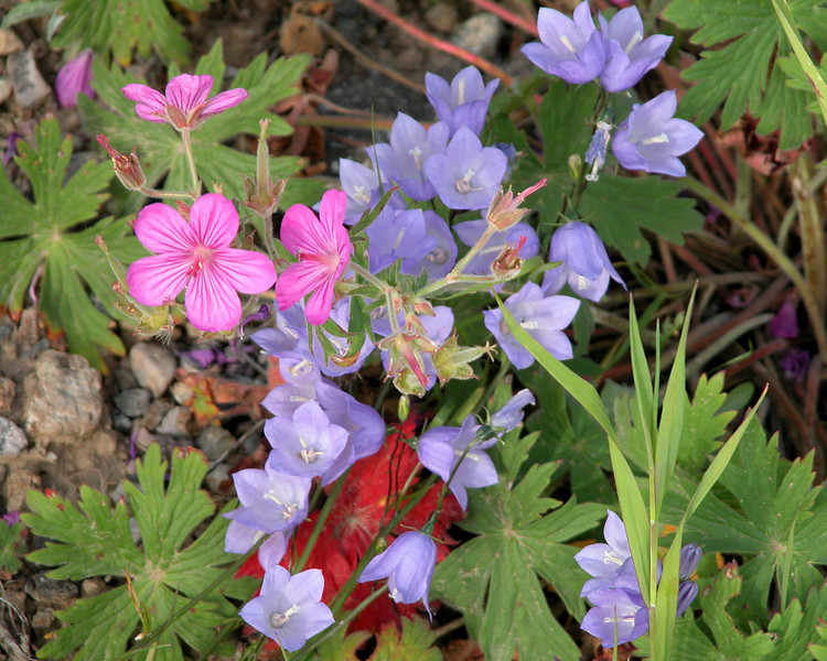 Common Harebell and Sticky Geranium Wildflowers  make for a nice bouquet in Island Park, ID.