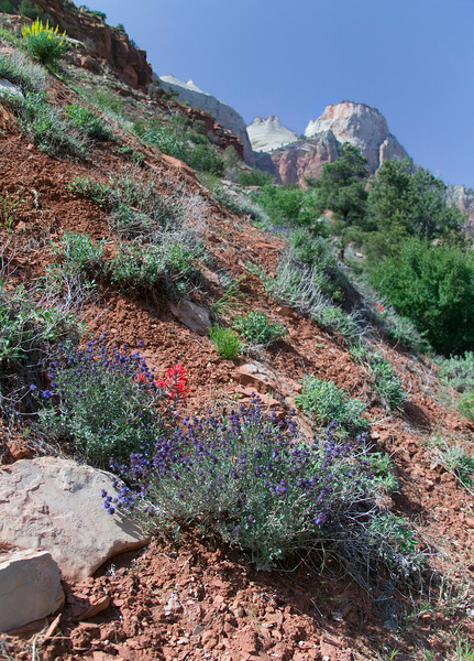Indian Paintbrush and other flowers on hillside in Zion National Park. April 2008