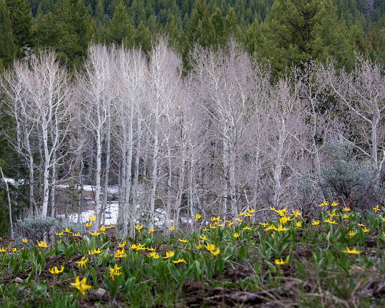 A Field of Glacier Lilies with Aspens in early Spring, near RedRock RV Park, near Island Park, Idaho. May 2008.