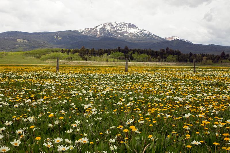 White Mule's Ear's and dandelions and Sawtelle Peak, Idaho