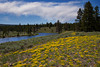 Golden Asters overlooking the Madison River in Yellowstone Nat'l Park. June 16, 2013