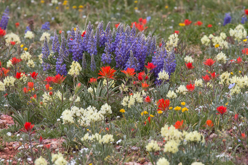 Indian Paintbrush and Lupines along the Gravelly Range Road, Montana