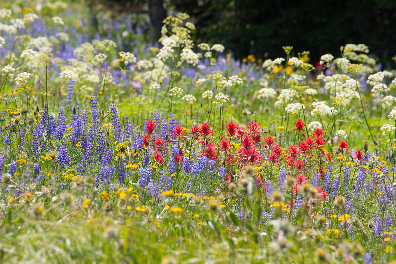 Gravelly Range Road, Indian Paintbrush and Lupines