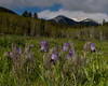 Purple Sugarbowl wildflower also known as Vase Flower with Aspens and East Centennials as backdrop. Island Park, Idaho. June 10, 2010.