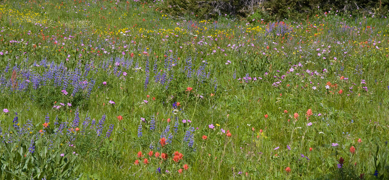 Panorama of wildflowers along Sawtelle Peak road near Island Park, Idaho. July 19, 2009  Notice the Indian Paintbrush, the Sticky Geraniums, the Silky Lupine, the tall buttercup anbd more.