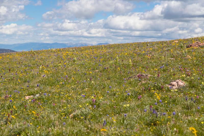 Gravelly Ridge Range Road wildflowers